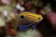 Pomacentrus vaiuli (Princess Damselfish)