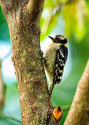 The smallest North American woodpecker, the downy woodpecker is also one of the most common and most readily recognized not only because of its size, but also because it will readily visit backyards and feeders.