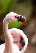 A pink flamingo at the Hilton Hawaiian Village in Waikiki.