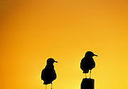 Two Australian Seagulls at Sunset, Lake Macquarie, NSW, Australia