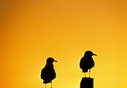 Two Australian Seagulls at Sunset, Lake Macquarie, NSW, Australia