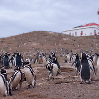 Magellanic Penguins nest in burrows under a lighthouse on Magdalena Island in the Strait of Magellan, Chile.