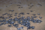 Kemp's ridley sea turtle, <br /> Lepidochelys kempii, hatchlings crawl <br /> toward ocean when released after <br /> emerging from nest in protected corral, <br /> Rancho Nuevo, Mexico ( Gulf of Mexico )