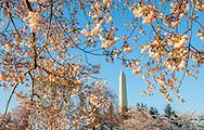 The Washington Monument in Washington D.C. during cherry blossom season.