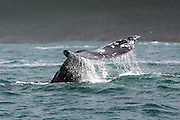 Whale tail in the northern Pacific ocean.