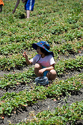 Phipps Ranch for pick your own berries and strawberries,  Pescadero, .San Mateo Coast of California, south of San Francisco.  Photo copyright Lee Foster, 510-549-2202, lee@fostertravel.com, www.fostertravel.com. Photo 468-31066