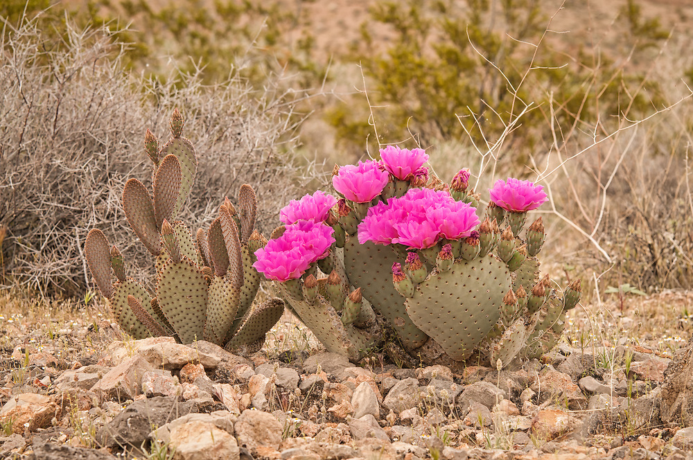 This very common species of cactus is spectacular in bloom with its showy display of fuchsia flowers in the spring, such as this beavertail cactus in full blossom in Southern Nevada.