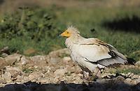 Egyptian vulture (Neophron percnopterus), Montejo de la Vega, Segovía, Castilla and Leon, Spain.