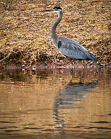 Great Blue Heron at the Sourland Mountain Preserve. Image taken with a Nikon D300 camera and 80-400 mm VR lens (ISO 360, 400 mm, f/8, 1/250 sec).