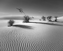 Yucca Family in Late Afternoon, White Sands National Monument, New Mexico