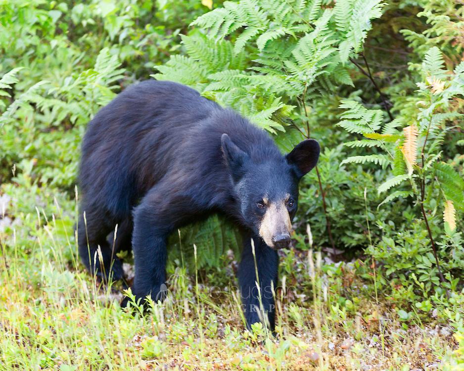 A young black bear in Kouchibouguac National Park, New Brunswick, Canada.