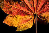 detail of maple leaf with fall color