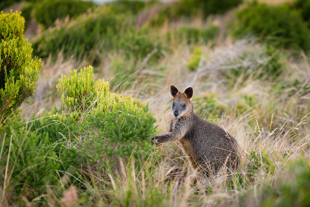 Black or Swamp Wallaby at Cape Woolamai, Phillip Island