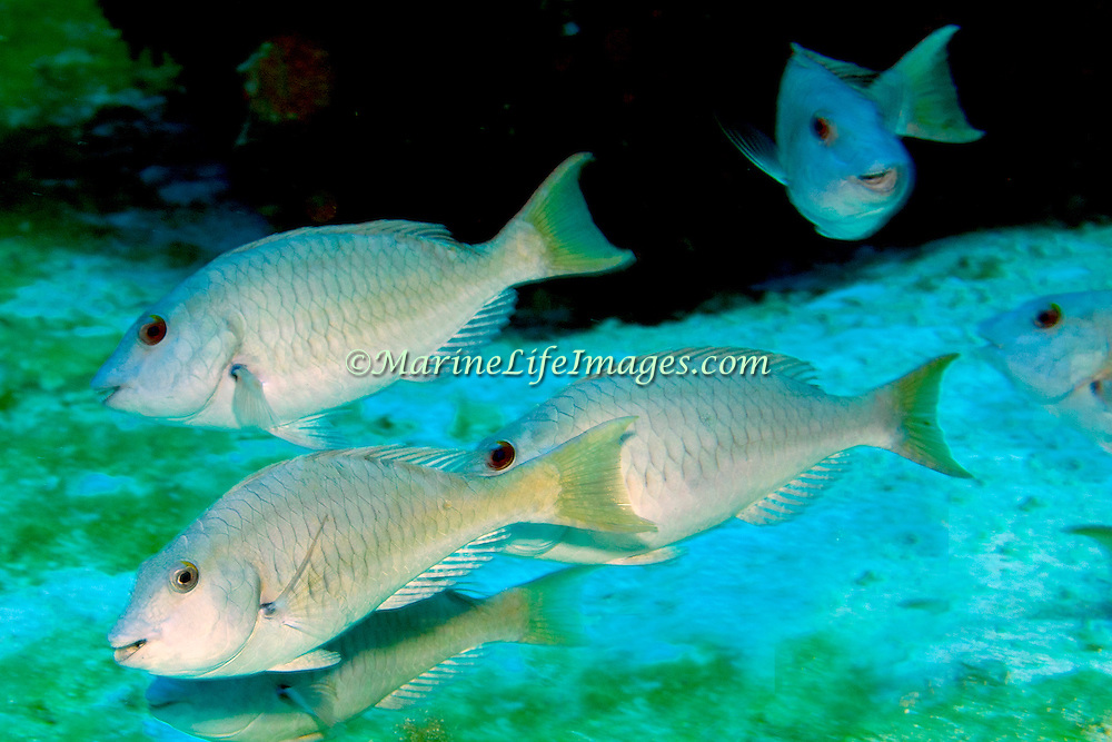 Yellowtail Parrotfish commonly in shallow areas of coral rubble and seagrass, occasionally on reefs, scrape filamentous algae from hard substrates in Tropical West Atlantic; picture taken Roatan.