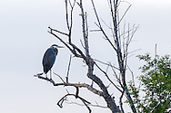 Great Blue Heron (Ardea herodias) roosting in a tree at Blackie Spit in Surrey, British Columbia, Canada