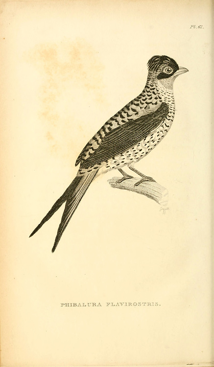 swallow-tailed cotinga (Phibalura flavirostris) is a species of passerine bird in the family Cotingidae. from volume XIII (Aves) Part 2, of 'General Zoology or Systematic Natural History' by British naturalist George Shaw (1751-1813). Griffith, Mrs., engraver. Heath, Charles, 1785-1848, engraver. Stephens, James Francis, 1792-1853 Published in London in 1825 by G. Kearsley