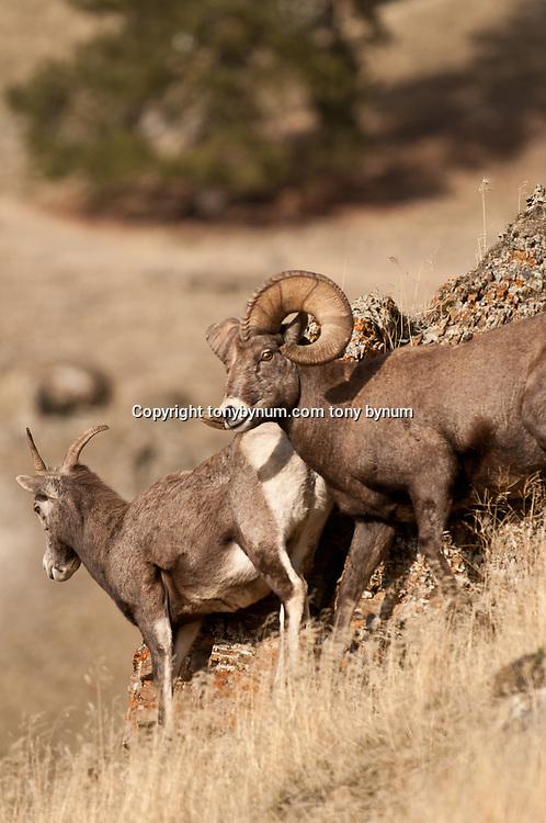trophy bighorn ram with ewe during rut, bighorn sheep wild rocky mountain big horn sheep