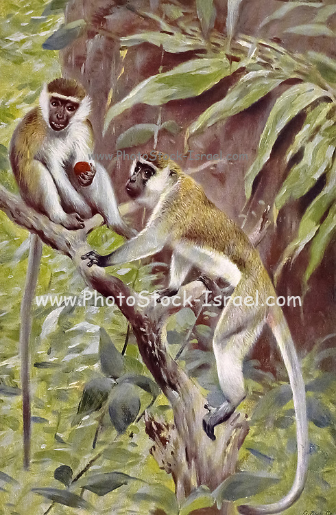 The vervet monkey (Chlorocebus pygerythrus) [Here as Abyssinian Green Monkey (Cercopithecus aethiops)] or simply vervet, is an Old World monkey of the family Cercopithecidae native to Africa. from the book '  Animal portraiture ' by Richard Lydekker, and illustrated by Wilhelm Kuhnert, Published in London by Frederick Warne & Co. in 1912