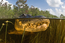 An American Alligator, Alligator mississippiensis, lurks in shallow water. Everglades National Park, Florida, USA