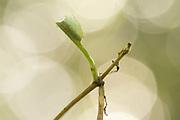White admiral (Limenitis camilla) hibernaculum on honeysuckle (Lonicera periclymenum). Sussex, UK.