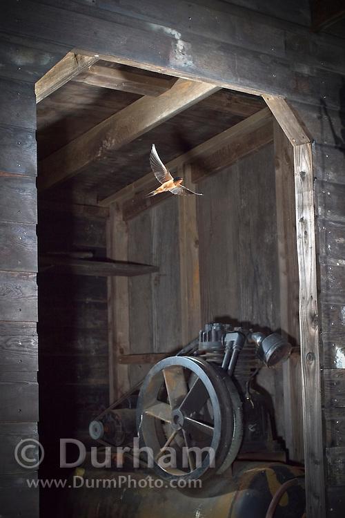 A barn swallow (Hirundo rustica) flies out of a compressor shed where it has a nest. Oregon coastal mountains.