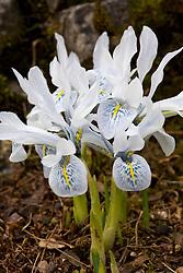 Iris 'Sheila Ann Germaney' (Reticulata)