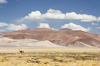 A lone vicuna stands against a spectacular backdrop that is Nevado de Tres Cruces National Park, Chile.