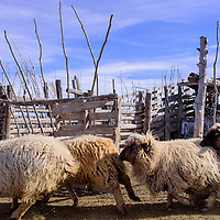 A herd of churro sheep runs through a pen behind the Two Grey Hills trading post Tuesday. The sheep produce much of the brown and grey wool that make rugs produced in the area famous.