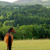 Europe, Ireland, Enniskerry. A lone horse looks out toward Sugarloaf Mountain in County Wicklow.