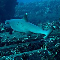 White-tip Reef Shark, Triaenodon obesus, (Rüppell, 1837), mano lalakea, Mala Pier, Maui, Hawaii