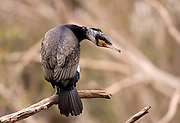 Great Cormorant (Phalacrocorax carbo) drying his wings on a dry tree, Hadera, Israel