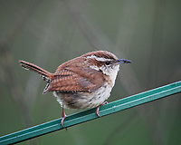 Carolina Wren. Image taken with a Nikon D5 camera and 600 mm f/4 VR lens (ISO 1600, 600 mm, f/5.6, 1/40 sec)