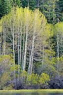 Aspen trees at Fallen Leaf Lake, near South Lake Tahoe, El Dorado County, California