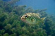 Ozark Bass<br /> <br /> Isaac Szabo/Engbretson Underwater Photo