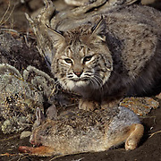 Bobcat (Lynx rufus) with mountian cottontail prey in the Rocky Mountians.  Captive Animal.