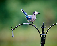 Blue Jay Image taken with a Nikon D850 camera and 200 mm f/2 VR lens