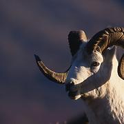 Dall Sheep (Ovis dalli), portrait of ram in Denali National Park.