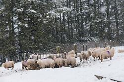 © Licensed to London News Pictures. 29/12/2020. Llanfihangel Nant Melan, Powys, Wales, UK. Sheep huddle around a feeder in winter weather near Llanfihangel Nant Melan in Powys, Wales, UK. Photo credit: Graham M. Lawrence/LNP