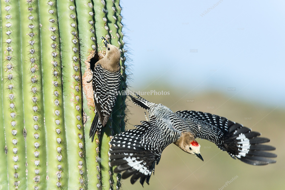 A male Gila Woodpecker (Melanerpes uropygialis) explodes out of a nest in a Saguaro (Carnegiea gigantea), while the female brings food to the young. Arizona