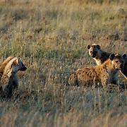 Spotted Hyaena (Crocuta crocuta) Family clan. Serengeti National Park. Tanzania. Africa. February.