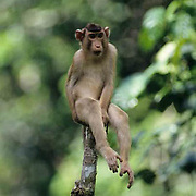 Pig-tailed Macaque, (Macaca nemestrina) In rain forest sitting on tree stump. Malaysia.