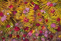 Close up detail of autumn leaves and ferns on the forest floor in Acadia National Park, Maine