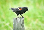 Red Winged Blackbird, Rain, Alberta