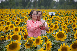 June 13, 2017 - Tourists take photos in the oil sunflower field in Zhaoxi Village of Zhaoqiao Township in Wuyi County, north China's Hebei Province. (Credit Image: © Photographer:Yuanmen/Xinhua via ZUMA Wire)