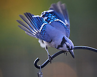 Blue Jay at the bird feeder. Image taken with a Nikon D5 camera and 600 mm f/4 VR lens (ISO 1600, 600 mm, f/5.6, 1/500 sec).