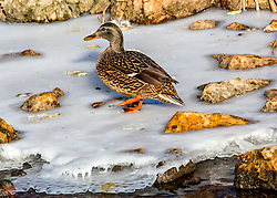 A duck waddles across the remaining ice over the still semi-frozen winter pond