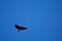 Eclectus Parrot (Eclectus roratus) female in flight.