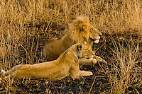 A lioness and lion sitting in a controlled burn area, Masai Mara National Reserve, Kenya