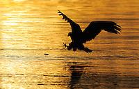White tailed sea eagle (Haliaeetus albicilla) Flatanger, Norway. August 2008.