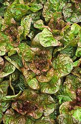 Lettuce 'Merveille des Quatre Saisons' (Marvel of Four Seasons). Lactuca sativa